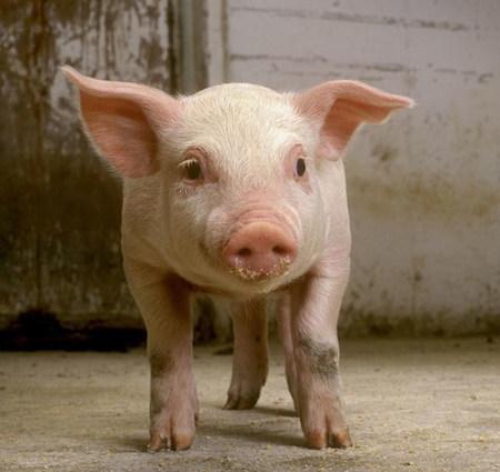 下旬猪价会涨?全国存栏降啦?养猪还有300万奖励!