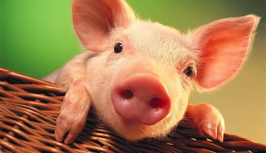 生猪价格反弹 市场人士发声:新一轮猪周期来了