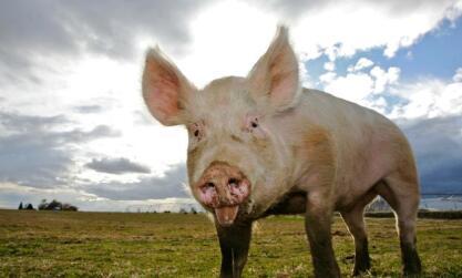 一周综述:11月生猪存栏低位 猪价上涨几率高 整体涨势温和