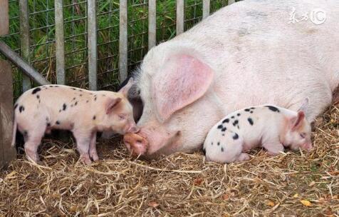 猪价回温,存栏降了?养猪还有300万奖励……