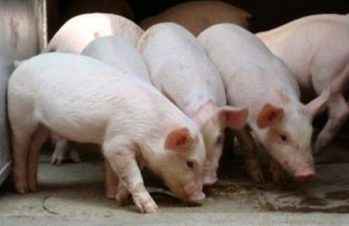 猪价涨了一礼拜,十一月行情到底如何