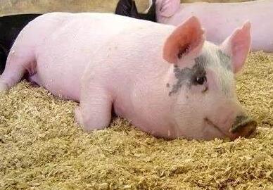 为什么呼吸道病的猪死前都会有喘气症状?