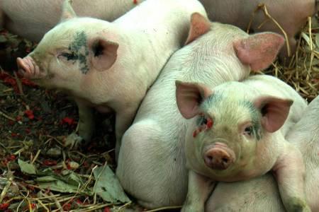 这三个养猪人的故事,让你减少一半猪场损失!