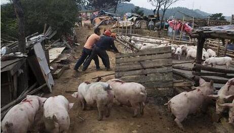 福建禁养区内养猪场 年底前全面关拆