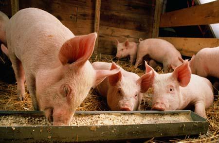 养猪秘诀:倒喂法养猪瘦肉率最高