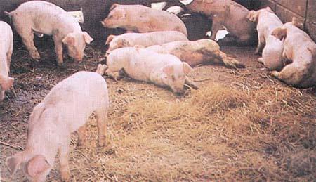 冬季猪病常见病鉴定:猪痘与猪圆环病毒病到底如何分辨