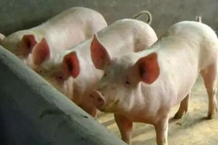 湖南五指峰特约技术:都是啥原因导致猪的生长缓慢?