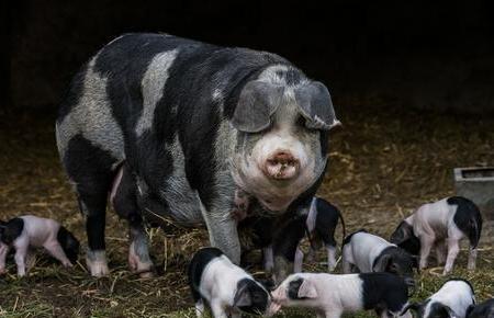 母猪生产三条实用技巧 不用掏猪这么复杂!