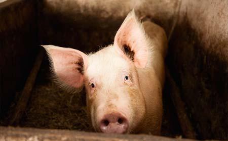 猪呼吸出现异样?这可能是疾病信号