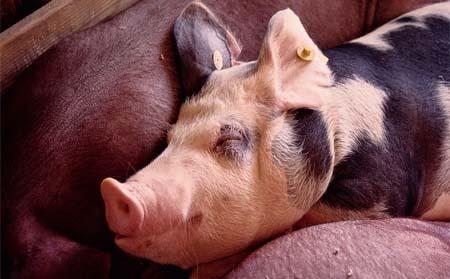 某养猪场育肥猪一夜猝死,原来是忽略了这个症状