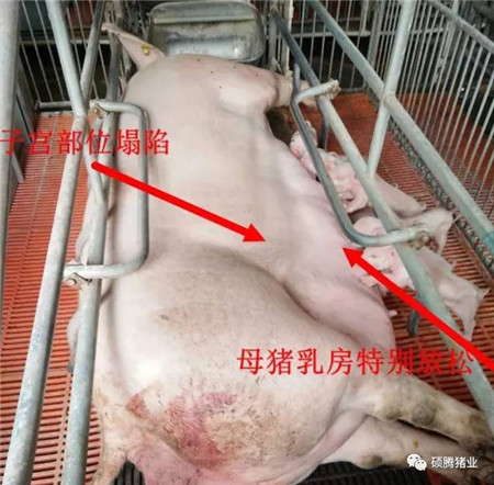 如何判断母猪是否产完?教你一套组合拳