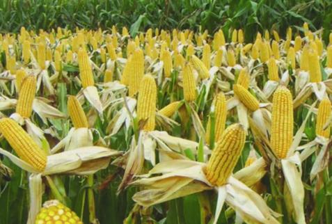 """农民可吃下""""定心丸"""" 今年玉米价格或将高于去年"""