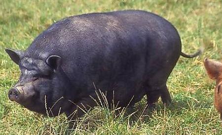 冬季高发猪传染性胃肠炎的临床表现及防控方法!
