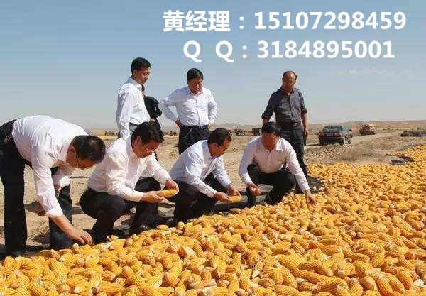 大量收购玉米 焦作收购玉米 实力厂家