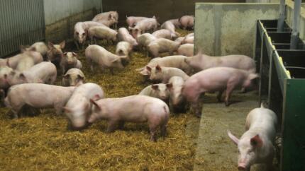 目前猪肉价格趋势还不算太稳定,在这种情况下,养猪户不能掉以轻心,肆意补或压栏都是不可取的,不然会吃大亏的。