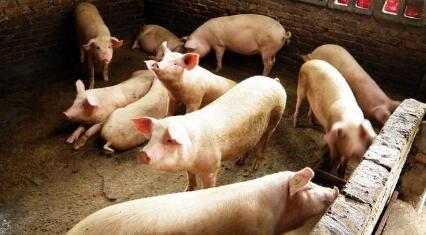 供需焦灼几个月,猪价涨跌两难,11月是涨是落?