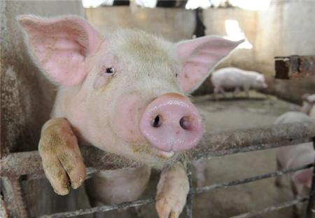 农村养猪:猪场太干燥,为什么会引起呼吸道疾病?