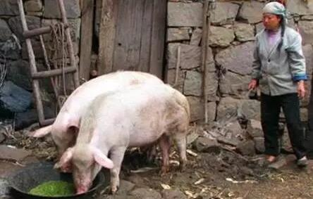 二十多年养猪经验的行家建议:养猪必须简单化