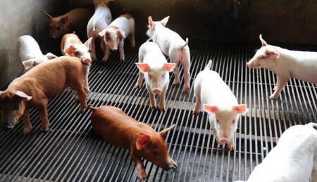 下半年养猪补贴政策出台拯救养猪业11月开始申报!