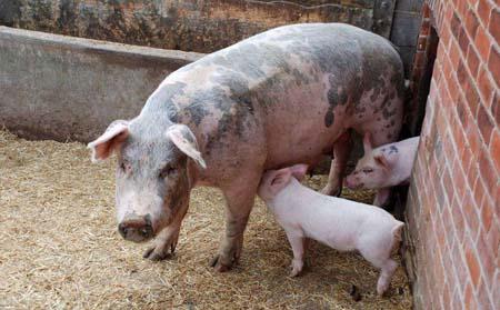 不同类型猪舍的保温措施大全