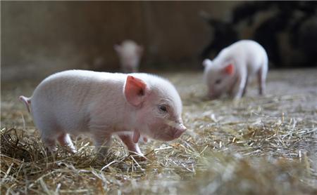 冬天养猪小技巧,记住这几点养猪准赚钱!