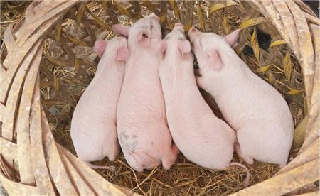 益生菌有效提高新生仔猪肠道免疫功能