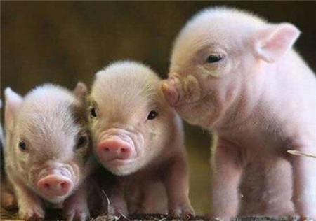 科学家培育低脂肪转基因猪:编辑老鼠基因引入猪细胞