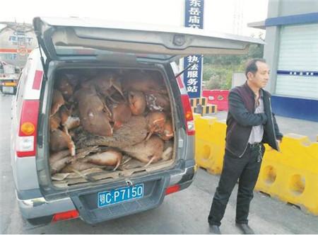 """一辆厢式车偷运80头野生保护动物 男子辩称是""""杂交猪"""""""