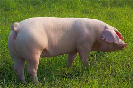养猪场如何提高人工授精的成功率?