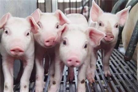 小猪一出生到断奶要做哪些疫苗及药物预防猪病?