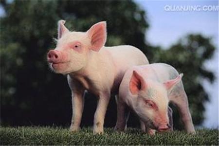 养殖户迅速诊断5类猪病