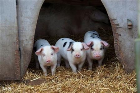 新型养猪人为什么不喜欢用黄安嘧啶,原因就是这么简单
