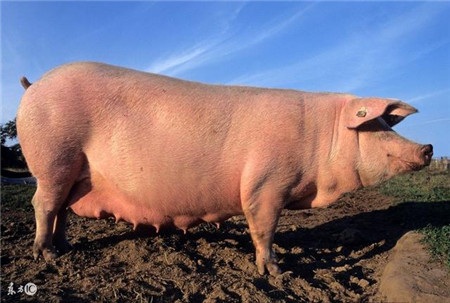 养猪人这5种情况下,治疗猪病不能使用使用地米
