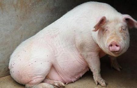 如何判断这头猪是不是太肥了?