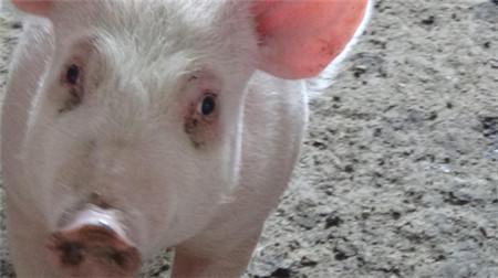 猪泪斑形成的原因