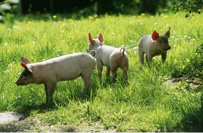 """""""零饲料""""猪肉供不应求!奇怪!到底是怎么养的?"""