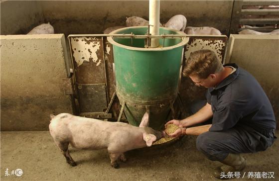 要选择适合的饲料 养猪的一个很大的成本就是饲料,选择适合的饲料的往往会降低猪场成本,降低猪只的淘汰率。