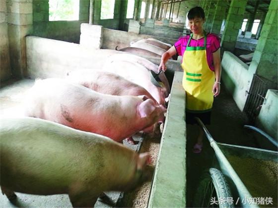 喂含氧汽水增重 用含氧汽水喂养断奶小猪,每隔5天给断奶小猪饮用1次,小猪日增重200~250克。其中含氧汽水就是在普通的饮水中加入一定比例的氧气,通常是1升水中注1升氧。如能在汽水中加些催肥剂之类的添加剂,效果更好