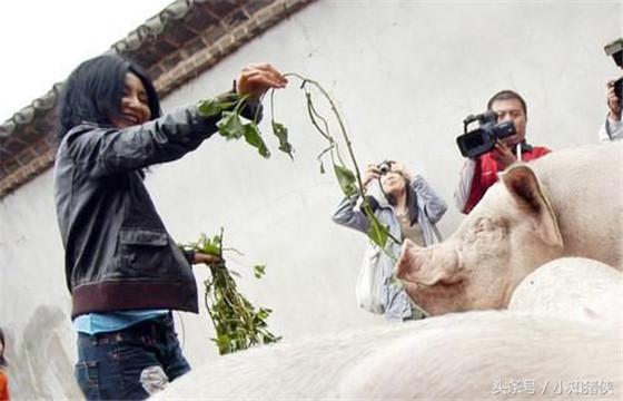 喂维生素C提高精液品质 在公猪的饲料中,每日添加1~4克维生素C,可使公猪的精液品质有明显提高。另外,在临产前一周的母猪日粮中,每日添加1克维生素C,可大大减少仔猪脐带出血及仔猪死亡率。