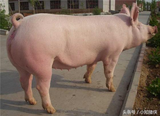 喂铜增重 在肉猪育肥期添加微量元素铜,可明显增加猪的体重,并抑制某些病菌对猪侵害,保障猪的健康生长。在加拌抗生素的饲料中,如再加拌适量的铜元素,可使猪日增重提高6.7%,饲料利用率提高2%~5%。