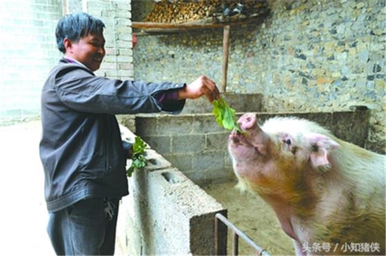 喂黄霉菌素增重 从猪长到35公斤时开始,在饲料中添加黄霉菌素,猪日增重可提高7%,饲料转化率可提高5%,黄霉菌素的添加量:仔猪每公斤饲料添加20毫克,育肥猪每公斤基础日粮添加50毫克,每公斤矿物质饲料中添加250毫克。