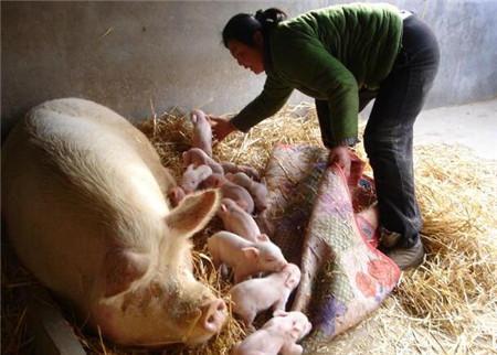 麸皮在猪场中的使用效果,省不少钱,养猪人你知道几个?