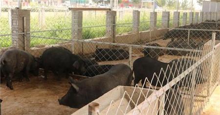 入冬后猪舍控制到多少度才最适合猪生长?