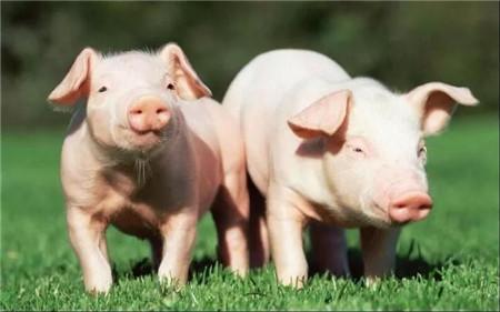 遇到母猪难产,掏猪推荐实用小妙招!