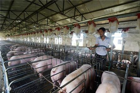 农村小型猪场要赚钱,科学养猪很关键,分享一些实用养猪技术!