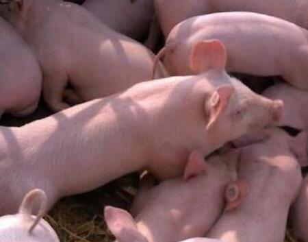 猪市观望态度浓厚!这个冬天猪价还会涨吗?