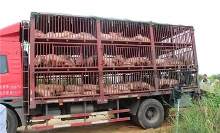 """德阳通威""""千万头生猪工程""""放养猪苗超6000头,存活率达99.89%"""