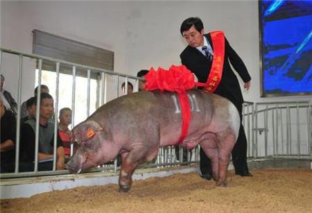 猪场老板的高见:如何一针见血判断猪病即将爆发!