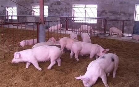 养猪怎么快速出栏 养猪高效育肥,养猪更赚钱