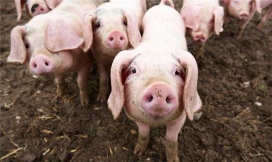 平常我们看到的猪,都是健健康康只有四条腿的样子。如果在某一天,你看到了一只长着多条腿的小猪时,会是什么反应呢?最近这件事就发生在了某个家庭的猪圈当中。